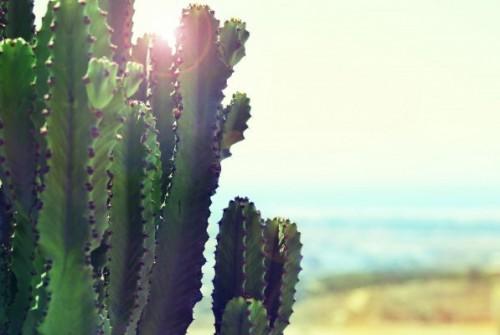 Cactus Pachanoi