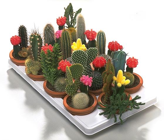 Cactus y plantas des rticas for Tipos de cactus